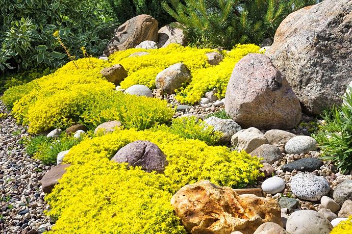Skalniak w ogordzie z pięknymi żółtymi kwiatostanami\